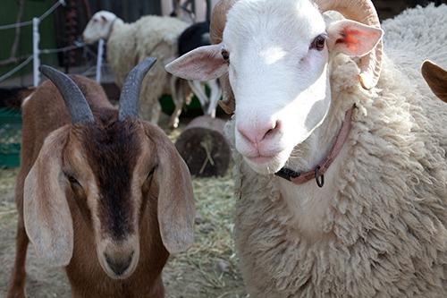 Nevada County Goats